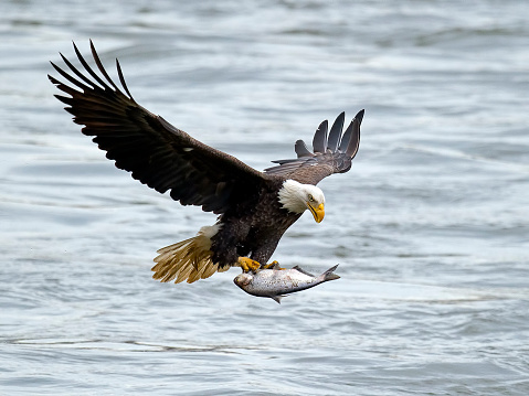 Bald Eagle in Flight With Fish 540230992