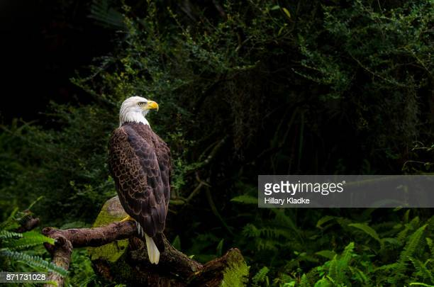 bald eagle in forest setting - eagle stock pictures, royalty-free photos & images