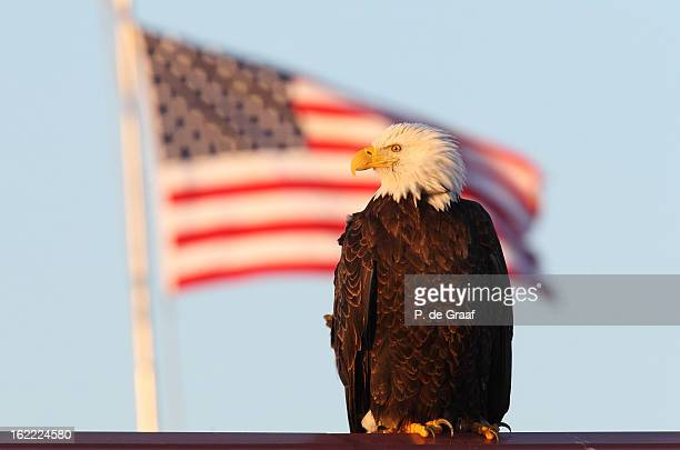 """Bald Eagle in front of """"Old Glory"""""""