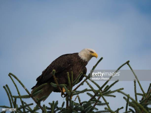 Bald Eagle in Gustavus Leaning Forward