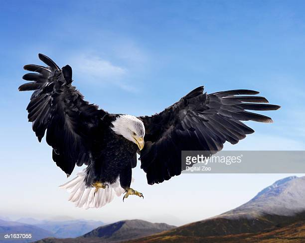 Bald Eagle in Mid Air, Against a Blue Sky and Above a Mountain Range