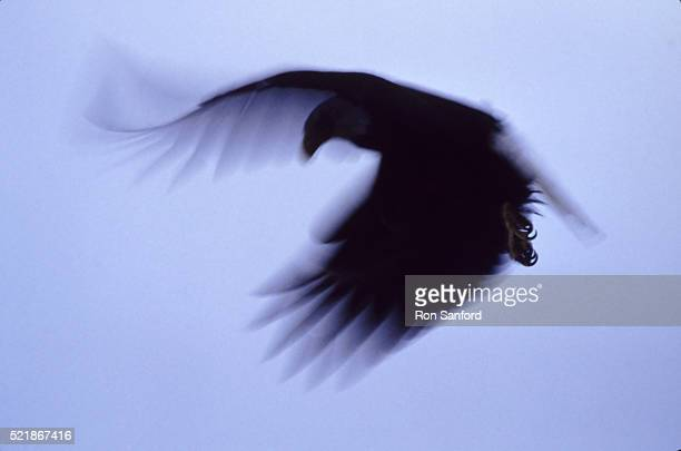 Bald eagle in silhouette