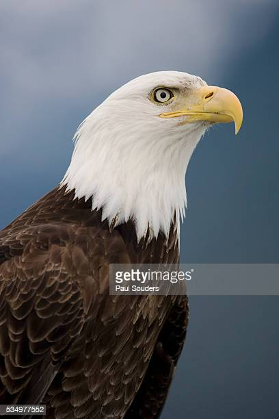 Bald Eagle in Tongass National Forest