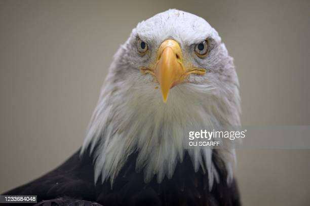 Bald Eagle is pictured at the British Falconry Fair, held at the National Centre for Birds of Prey at Duncombe Park in northern England on June 27,...