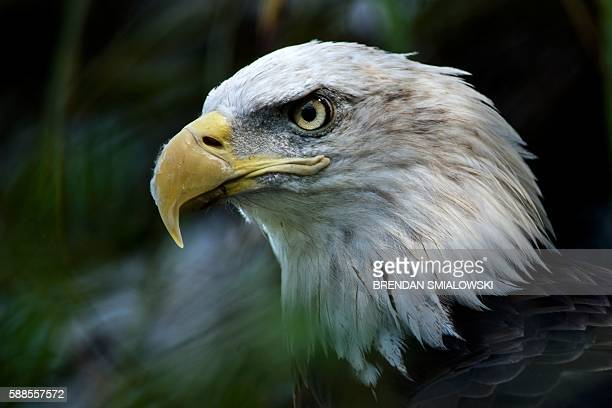 A bald eagle is seen along the American Trail at the Smithsonian National Zoo August 11 2016 in Washington DC / AFP / Brendan Smialowski