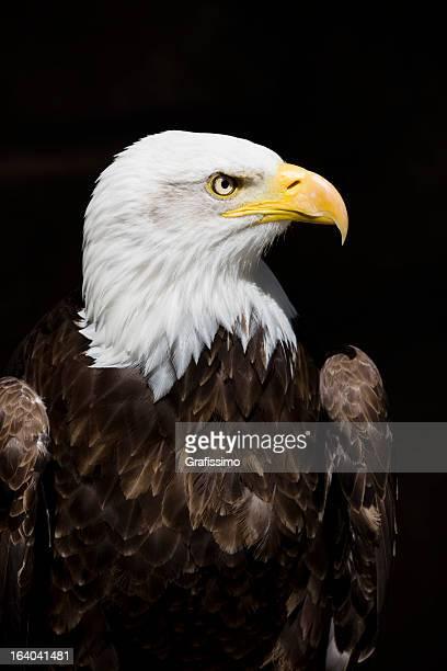 Águila de cabeza blanca aislado en negro