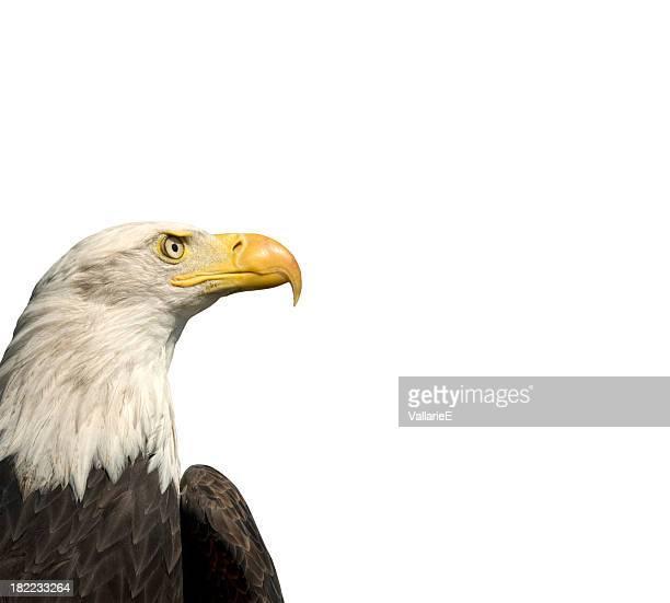 Bald Eagle Isolated on White