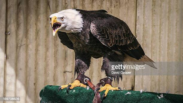 Bald Eagle Ivan owned by Falcon Environmental Services uses falcons and other birds of prey at Pearson International in order to scare away 'nuisance...
