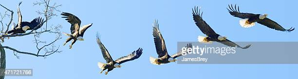 Bald Eagle Jumps from Tree and Flies, Image Sequence