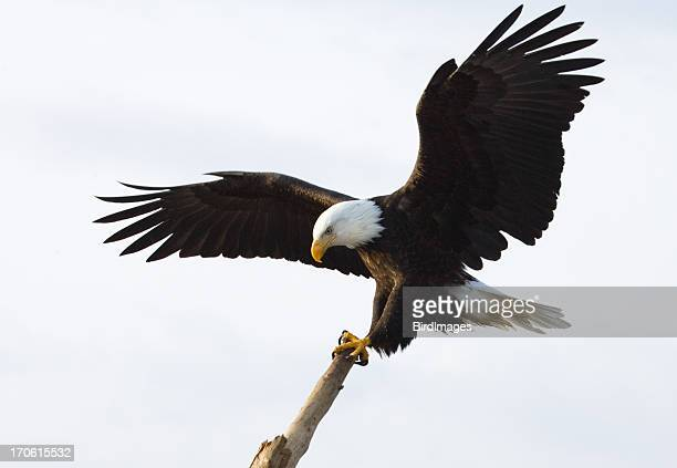 bald eagle - king of the perch, white background - perching stock photos and pictures