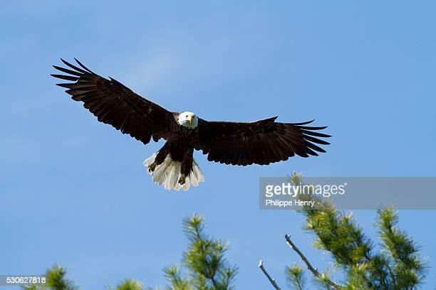 bald eagle (haliaeetus leucocephalus) landing on a pine tree, forillon national park; quebec, canada - forillon national park stock pictures, royalty-free photos & images