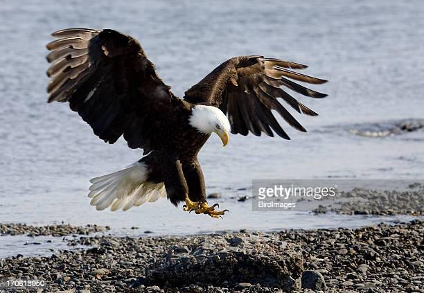 bald eagle - landing on beach - eagle bird stock photos and pictures