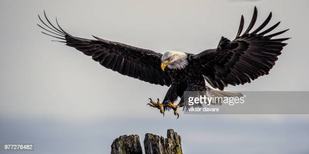 Bald eagle (Haliaeetus leucocephalus) landing on tree, Comox, Vancouver Island, British Columbia, Canada