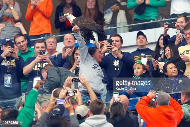 A bald eagle lands on a fans arm after performing a flyover in the stadium during the College Football Playoff Semifinal Goodyear Cotton Bowl Classic...