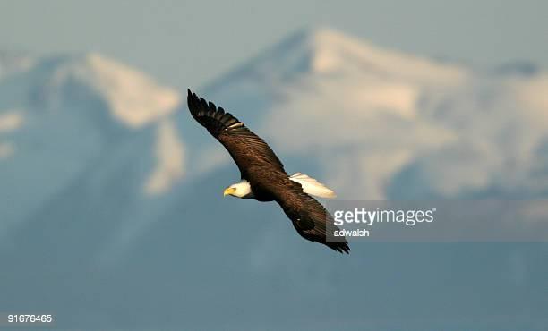 Águila calva & las montañas