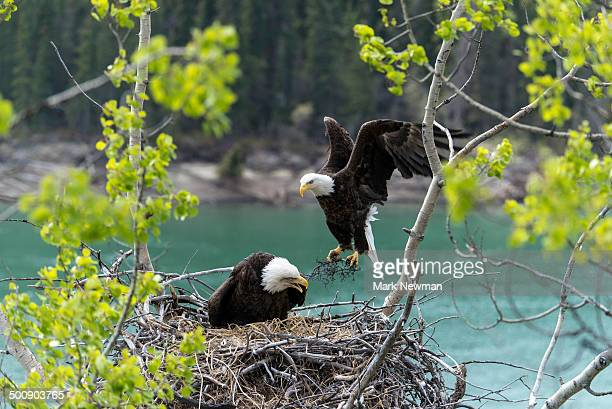 bald eagle nesting - eagle nest stock photos and pictures