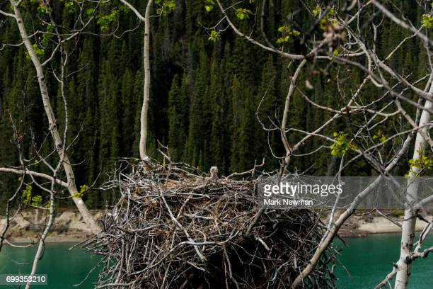 bald eagle, nesting - eagle nest stock photos and pictures