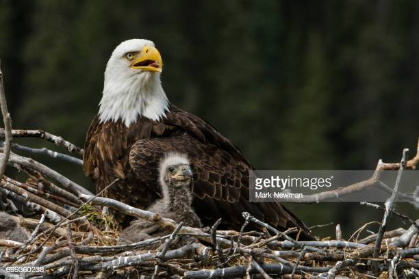 bald eagle, nesting - bald eagle stock pictures, royalty-free photos & images
