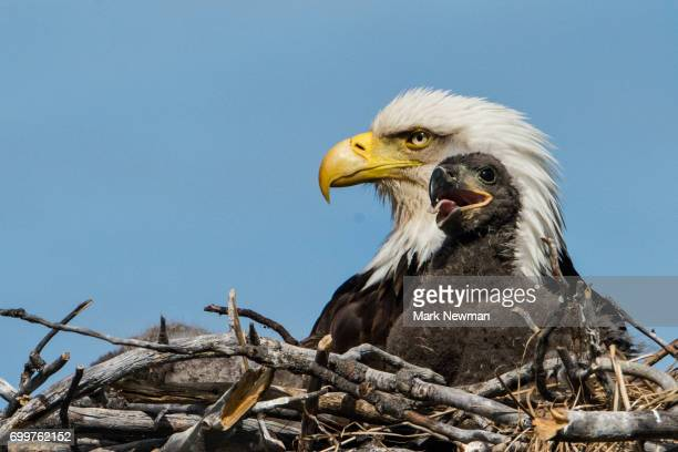 bald eagle, nesting - birds_of_prey stock pictures, royalty-free photos & images