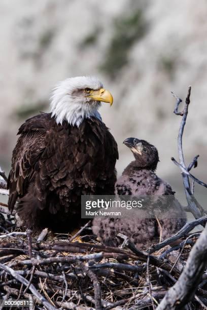 bald eagle, nesting - 動物の子供 ストックフォトと画像