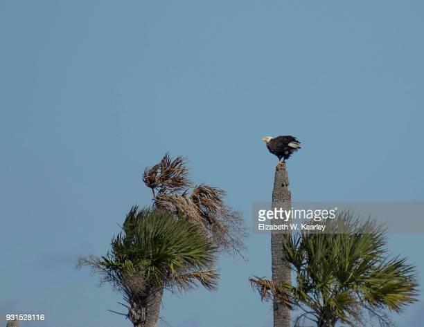 Bald Eagle on a Dead Palm Tree