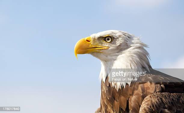 Águila calva el cielo azul de fondo.