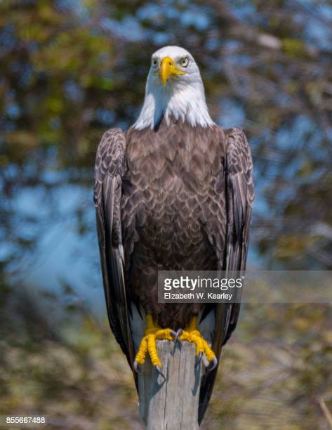 bald eagle on fence post - bald eagle stock photos and pictures