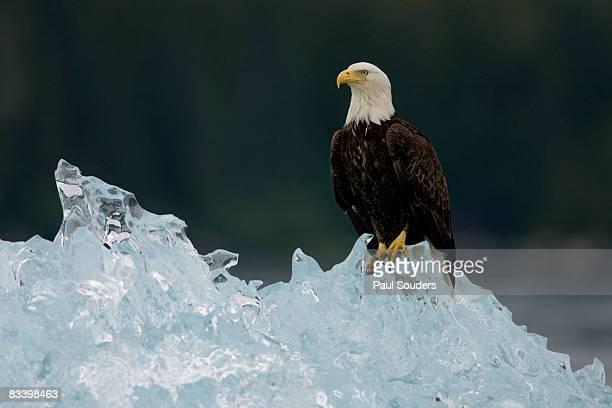 Bald Eagle on Iceberg, Alaska
