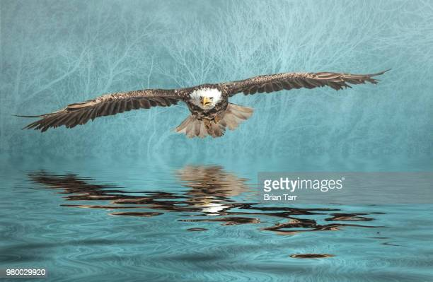 Bald Eagle on Misty Lake
