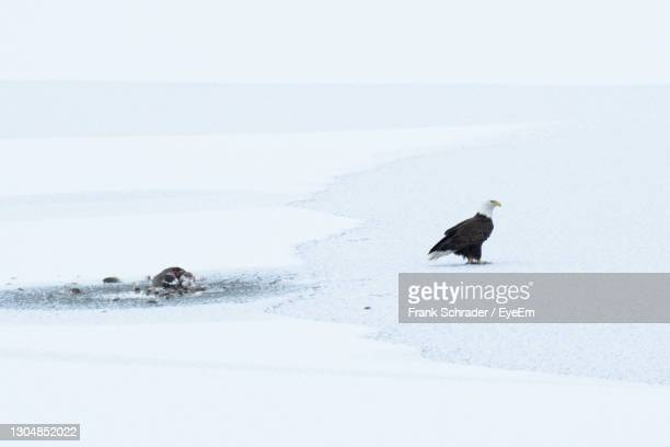 bald eagle on snow covered ground next to an animal carcass - frank schrader stock pictures, royalty-free photos & images