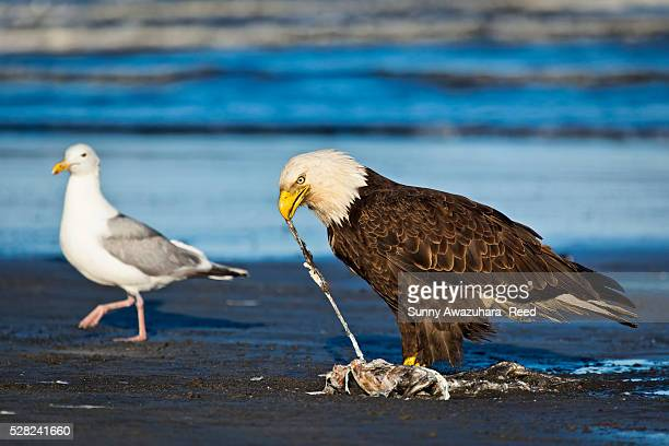 Bald Eagle on the beach feeding on fish carcass with a Seagull in the background, Ninilchik, Kenai Peninsula, Southcentral Alaska, Summer.