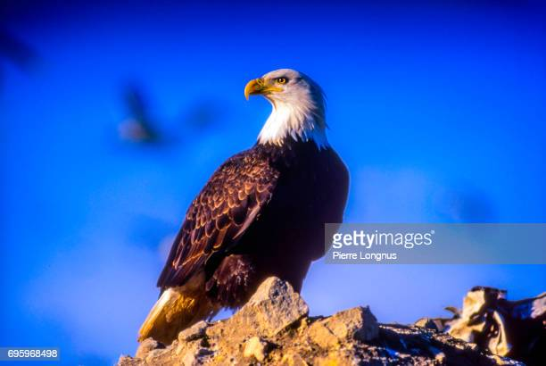 bald eagle on top of a rock, near brackendale, british columbia, canada - eagle stock pictures, royalty-free photos & images