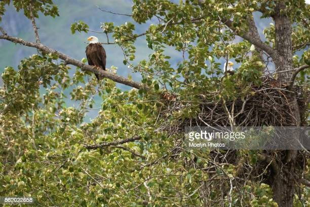 bald eagle pair and nest - upper chilkat river 012 - eagle nest stock photos and pictures
