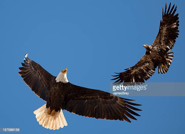Bald Eagle Parent Teaching Flying Lessons to Learning Adolescent Bird