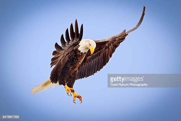 bald eagle pausing - eagle stock pictures, royalty-free photos & images