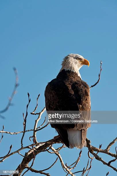 Bald Eagle Perch At Lake Coeur d'Alene
