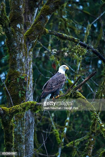 bald eagle perched in a tree, skagit river valley, washington state, usa - perching stock photos and pictures