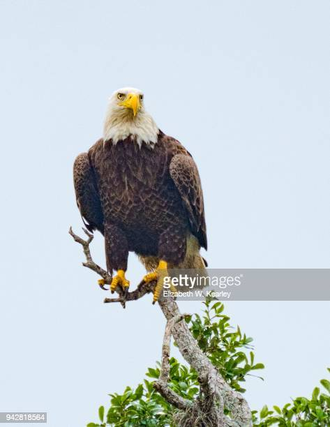 bald eagle perched on a tree branch - 止まる ストックフォトと画像