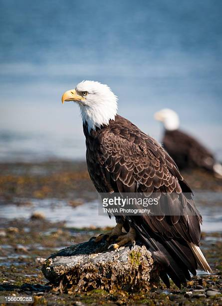 Bald Eagle Perched on Beach Rock