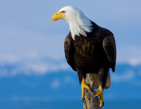 Bald Eagle Perched on Stump - Alaska 108221750