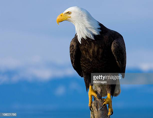 bald eagle perched on stump - alaska - perching stock pictures, royalty-free photos & images