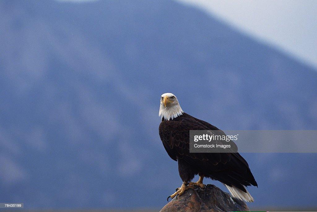 Bald eagle perched : Stockfoto