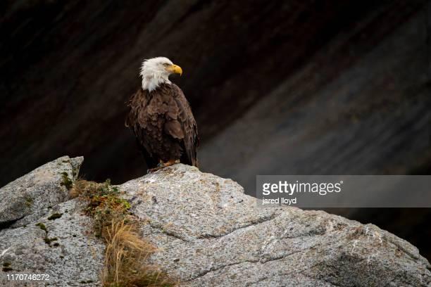a bald eagle perches on a rock in kenai fjords national park - golfo do alasca imagens e fotografias de stock