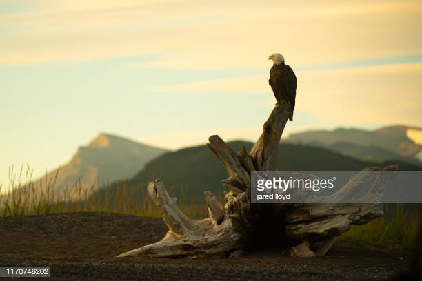 a bald eagle perches on driftwood at sunset along the banks of cook inlet in alaska - national park stock pictures, royalty-free photos & images