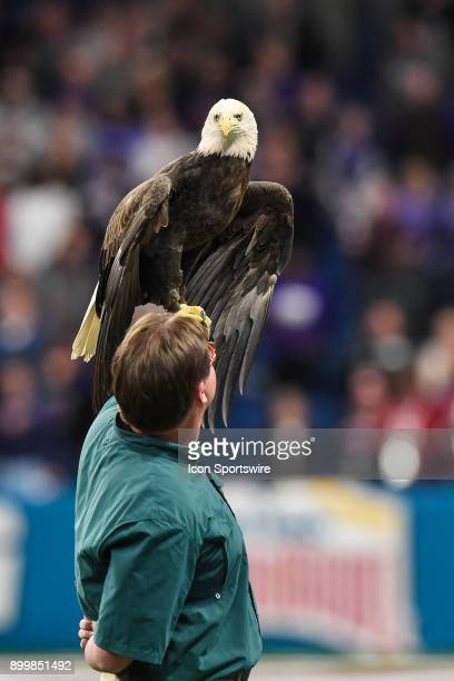 A bald eagle perches on the arm of it's trainer during the national anthem before the Valero Alamo Bowl between the Stanford Cardinal and the TCU...