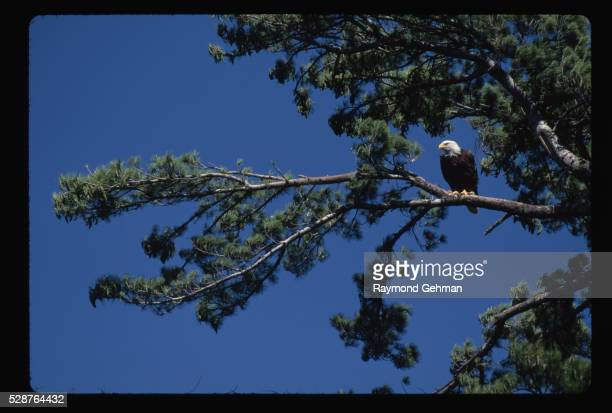 bald eagle perching in pine tree - eastern white pine stock pictures, royalty-free photos & images