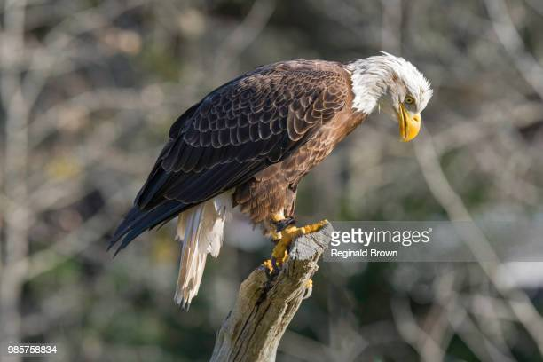a bald eagle perching on a branch. - perching stock photos and pictures