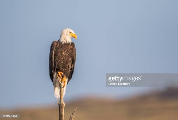 Bald Eagle (Haliaeetus Leucocephalus) perching on dead tree snag near lake, Sublette County, Wyoming, USA