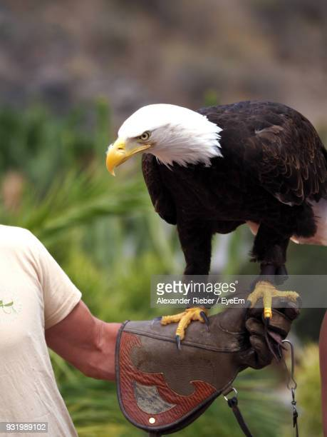 Bald Eagle Perching On Hand