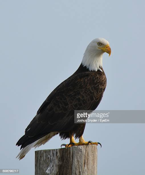 Bald Eagle Perching On Wooden Post